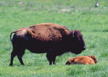 Buffalo in Wildlife Prairie State Park in Hanna City, Illinois