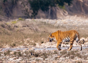 A roaming tiger near the Treehouse Hideaway