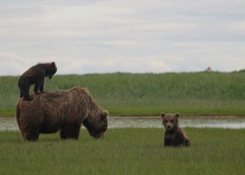 Hallo Bay Bear Camp - Alaskan Wildlife Viewing