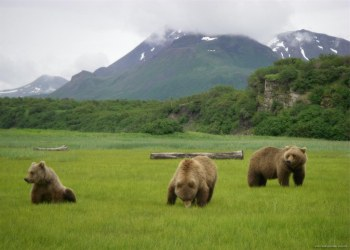 Hallo Bay Bear Camp - Alaskan Grizzly Bears