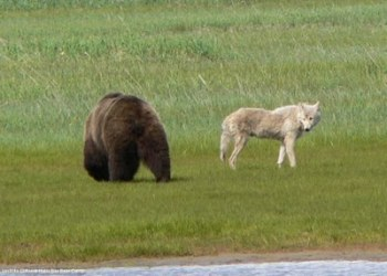 Alaskan Brown Bear and Wolf