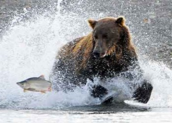 Alaskan Brown Bear chasing his lunch
